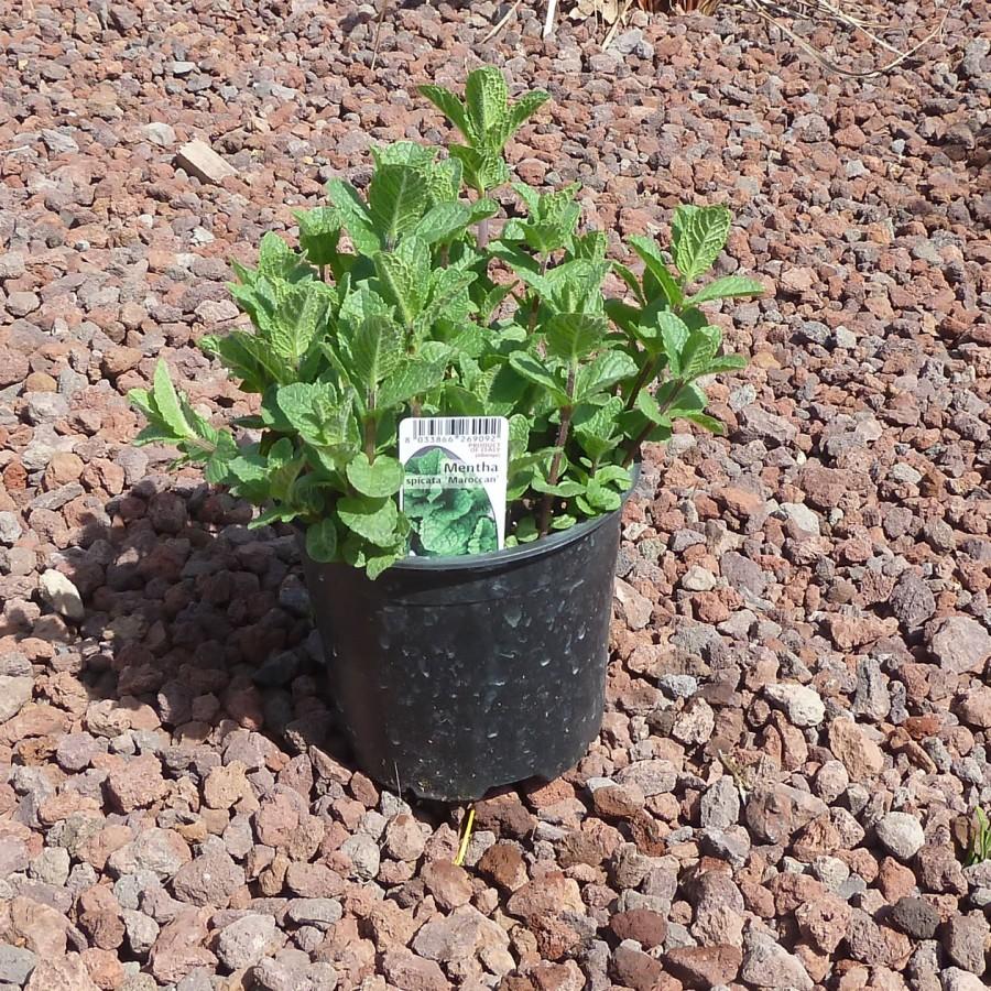 Piante Di Menta : Pianta di menta marocchina vendita online il giardino