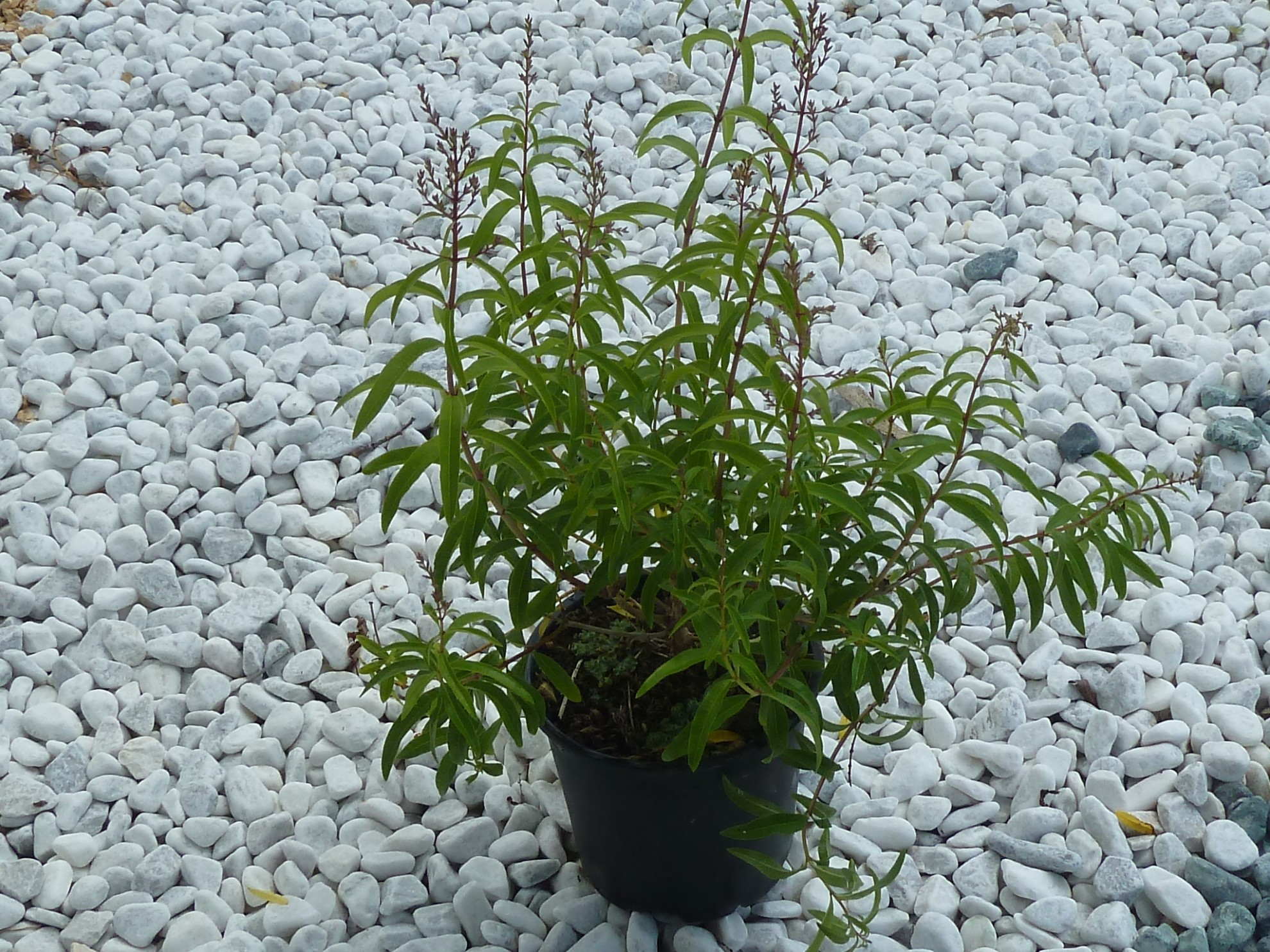 Piante Di Erba : Pianta di erba cedrina vendita online il giardino