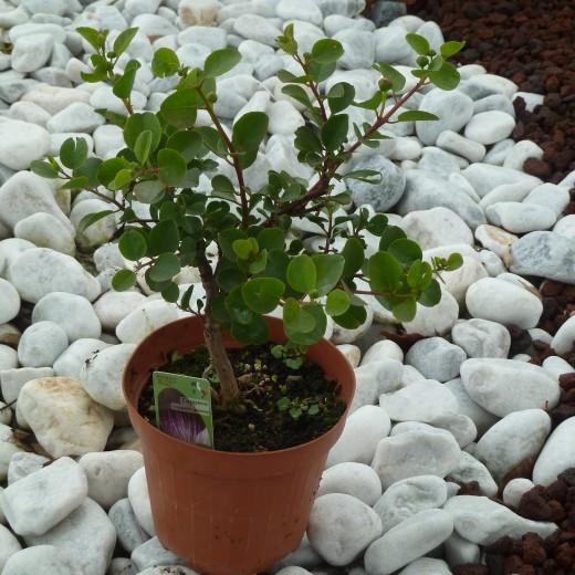 pianta cappero (1)