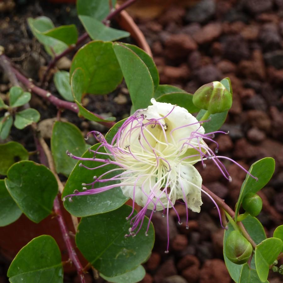 pianta cappero (12)