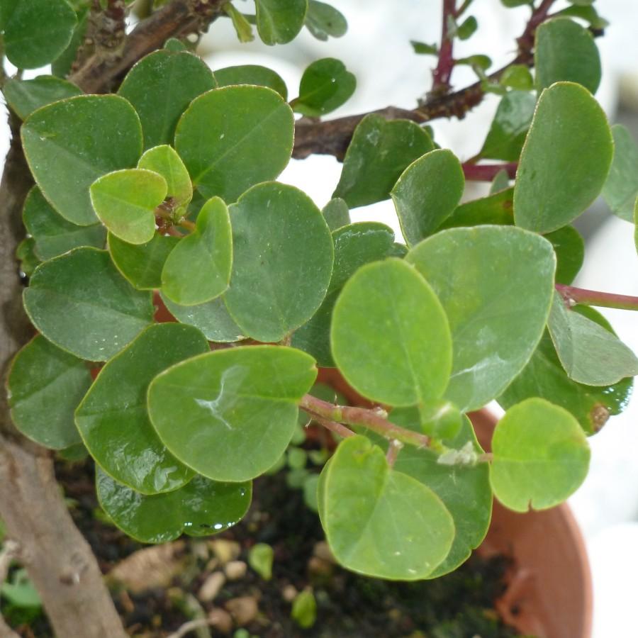 pianta cappero (6)