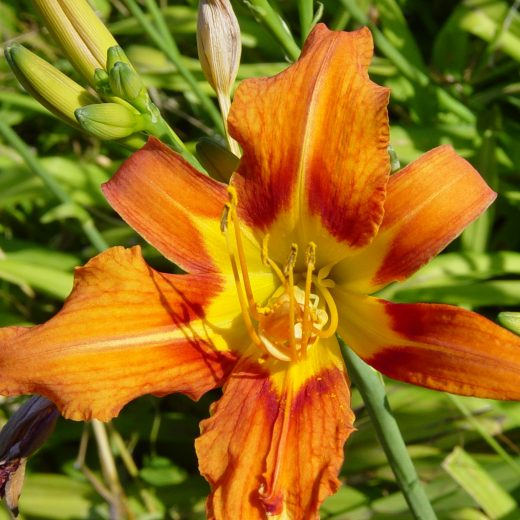 Hemerocallis Orange Butterfly