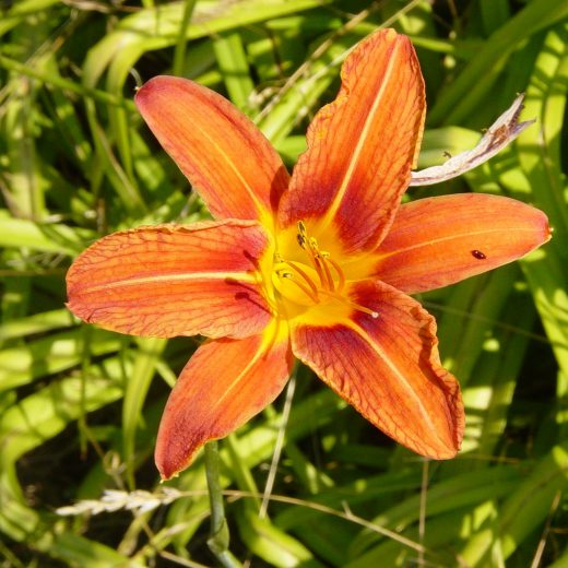 Hemerocallis Unique